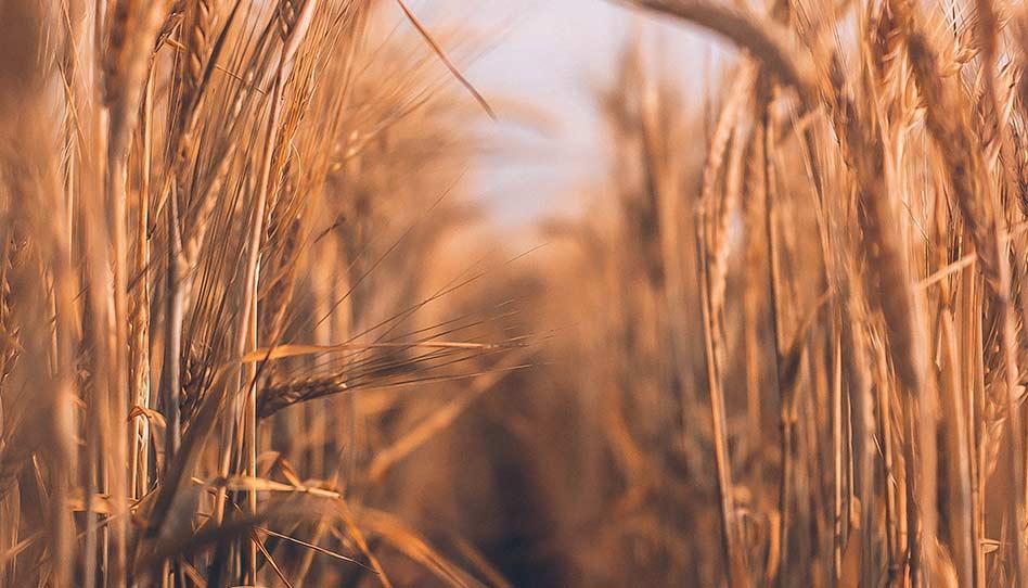 O que podemos aprender com a parábola do joio e do trigo?
